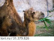 Купить «Верблюд жуёт траву», фото № 31379826, снято 29 апреля 2018 г. (c) Павел Сапожников / Фотобанк Лори