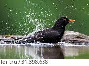 Bading Blackbird (2014 год). Редакционное фото, фотограф Liszt Collection, Marc Guyt, Agami / age Fotostock / Фотобанк Лори