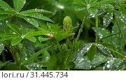 Купить «Lupine buds and leaves with raindrops», видеоролик № 31445734, снято 30 июня 2019 г. (c) Игорь Жоров / Фотобанк Лори