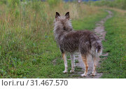 Купить «Fluffy gray dog on the nature in the green field», фото № 31467570, снято 6 июля 2019 г. (c) Яна Королёва / Фотобанк Лори