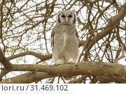 Купить «Verreaux's Eagle-Owl (Bubo lacteus) perched on tree branch, looking at camera, Ngorongoro conservation area, Tanzania.», фото № 31469102, снято 21 февраля 2018 г. (c) age Fotostock / Фотобанк Лори