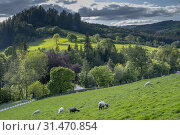 Купить «Sheeps grazing close the Lake Vyrnwy, in the middle of the Berwyn mountain range, Powys, Wales.», фото № 31470854, снято 4 апреля 2020 г. (c) age Fotostock / Фотобанк Лори