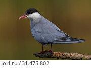 Купить «Whiskered Tern on a branch, Chlidonias hybrida, Whiskered Tern», фото № 31475802, снято 21 мая 2013 г. (c) age Fotostock / Фотобанк Лори
