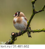 Купить «European Goldfinch is a highly coloured finch with a bright red face and yellow wing patch sitting on a tree branch in Scotland», фото № 31481602, снято 7 апреля 2018 г. (c) easy Fotostock / Фотобанк Лори