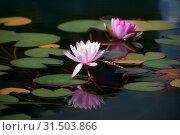 Купить «Розовые цветы водяной лилии в пруду», фото № 31503866, снято 11 июля 2018 г. (c) Татьяна Белова / Фотобанк Лори