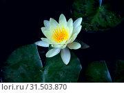 Купить «Белая водяная лилия или нимфея в пруду», фото № 31503870, снято 2 апреля 2012 г. (c) Татьяна Белова / Фотобанк Лори