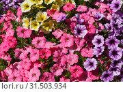 Купить «Фон из разноцветных красочных цветов петунии», фото № 31503934, снято 25 июня 2019 г. (c) Наталья Волкова / Фотобанк Лори
