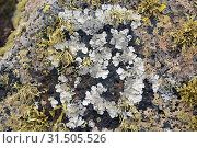 Купить «Parmelia tiliacea or Parmelina tiliacea (grey) a foliose lichen, surrounded by Ramalina sp. a fruticulose lichen. This photo was taken in Lanzarote Island, Canary Islands, Spain.», фото № 31505526, снято 14 мая 2019 г. (c) age Fotostock / Фотобанк Лори