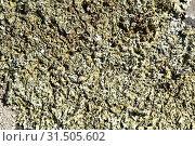 Купить «Xanthoparmelia somloensis, Xanthoparmelia stenophylla or Parmelia somloensis is a foliose lichen that grows on siliceous rocks. This photo was taken in La Albera, Girona province, Catalonia, Spain.», фото № 31505602, снято 30 апреля 2019 г. (c) age Fotostock / Фотобанк Лори