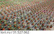 Купить «Picture of seedlings of tomatoes growing in pots in greenhouse, nobody», видеоролик № 31527062, снято 26 апреля 2019 г. (c) Яков Филимонов / Фотобанк Лори