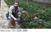 Купить «Male farmer inspecting quality of potted Pelargonium ready to sale», видеоролик № 31529386, снято 26 апреля 2019 г. (c) Яков Филимонов / Фотобанк Лори