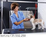 Купить «Woman grooming havanese in salon», фото № 31532250, снято 27 августа 2018 г. (c) Яков Филимонов / Фотобанк Лори