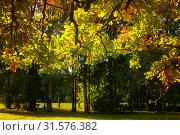 Купить «Осенний пейзаж. Autumn leaves background - autumn oak tree branch with orange foliage lit by sunlight. Sunny autumn landscape», фото № 31576382, снято 21 сентября 2017 г. (c) Зезелина Марина / Фотобанк Лори