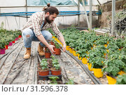 Купить «Young male horticulturist planting tomatoes seedling in pots», фото № 31596378, снято 9 апреля 2019 г. (c) Яков Филимонов / Фотобанк Лори