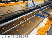 Купить «View of mandarin oranges conveyor belt», фото № 31596678, снято 21 сентября 2019 г. (c) Яков Филимонов / Фотобанк Лори