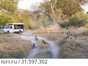 Africa, Southern Africa, Bostwana, Moremi National Park, Safari in open vehicule, observing African wild dog or African hunting dog or African painted dog (Lycaon pictus), group, adults and youngs. Стоковое фото, фотограф Morales / age Fotostock / Фотобанк Лори