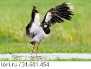 Northern Lapwing in wet field, Northern Lapwing, Vanellus vanellus (2011 год). Редакционное фото, фотограф Liszt Collection, Hans Germeraad, Agami / age Fotostock / Фотобанк Лори
