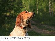 Купить «Portrait of a dog breed Russian hunting spaniel in the forest», фото № 31622270, снято 14 июля 2019 г. (c) Яна Королёва / Фотобанк Лори