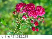 Купить «Розовый куст в саду», фото № 31622298, снято 18 сентября 2016 г. (c) Татьяна Белова / Фотобанк Лори