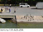 Купить «Flock of Barnacle geese (Branta leucopsis) on waterfront. Helsinki, Finland», фото № 31623294, снято 30 июня 2019 г. (c) Валерия Попова / Фотобанк Лори