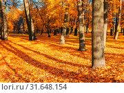 Купить «Осенний пейзаж. Fall picturesque landscape. Deciduous fall tree with fallen fall leaves lit by sunshine», фото № 31648154, снято 9 октября 2016 г. (c) Зезелина Марина / Фотобанк Лори