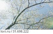 Blooming tree flowers in white spring season of nature beauty. Стоковое видео, видеограф Dzmitry Astapkovich / Фотобанк Лори