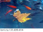 Купить «Кленовый лист на поверхности пруда с красными рыбками. Осень», фото № 31699414, снято 18 сентября 2016 г. (c) Татьяна Белова / Фотобанк Лори