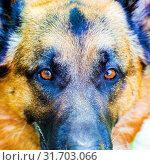 Купить «Closeup portrait of a German Shepherd breed dog», фото № 31703066, снято 1 июня 2019 г. (c) Акиньшин Владимир / Фотобанк Лори