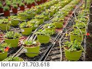 Купить «Pots with flowering portulaca in greenhouse», фото № 31703618, снято 17 сентября 2019 г. (c) Яков Филимонов / Фотобанк Лори