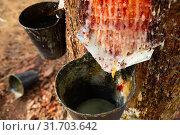 Купить «Extraction of resin in pines, Natural Park at sunny day», фото № 31703642, снято 25 февраля 2020 г. (c) Яков Филимонов / Фотобанк Лори