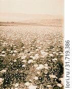 Купить «Wild flowers of Palestine. Field of yellow carrot (Daucus aureus Desf.) 1900», фото № 31719386, снято 29 июня 2018 г. (c) age Fotostock / Фотобанк Лори