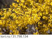 Купить «Цветущая форзиция», фото № 31798134, снято 25 апреля 2019 г. (c) Наталия Шевченко / Фотобанк Лори