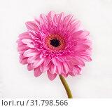 Купить «beautiful pink gerbera on a white background», фото № 31798566, снято 12 марта 2014 г. (c) Володина Ольга / Фотобанк Лори