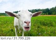 Смешная белая коза на поляне рядом с лесом. Стоковое фото, фотограф E. O. / Фотобанк Лори