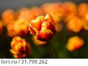Жёлто красные тюльпаны растут на клумбе. Стоковое фото, фотограф Игорь Низов / Фотобанк Лори