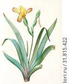 Iris variegata, Iris panaché, Variegated Iris, Variable Flower-du-luce, Redouté, Pierre Joseph, 1759-1840, les liliacees, 1802 - 1816 (2016 год). Редакционное фото, фотограф Artokoloro / age Fotostock / Фотобанк Лори