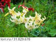 Купить «Красные и белые лилии», эксклюзивное фото № 31829678, снято 17 июля 2011 г. (c) Александр Щепин / Фотобанк Лори
