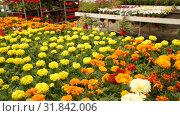 Купить «Image of colored plants of marigold in sunny hothouse, nobody», видеоролик № 31842006, снято 26 мая 2019 г. (c) Яков Филимонов / Фотобанк Лори
