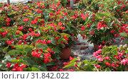 Купить «Rows of pots with flowering red begonia semperflorens cultivated in modern hothouse», видеоролик № 31842022, снято 3 июня 2019 г. (c) Яков Филимонов / Фотобанк Лори