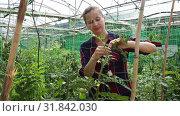 Купить «Confident woman farmer working in hothouse, fastening tomato plants on supporting netting», видеоролик № 31842030, снято 3 июня 2019 г. (c) Яков Филимонов / Фотобанк Лори