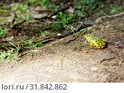 Купить «Лягушка у водоема», эксклюзивное фото № 31842862, снято 26 июля 2019 г. (c) Инна Козырина (Трепоухова) / Фотобанк Лори