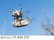European Garden Spider, Araneus Diadematus or Cross spider with pray in spider web. Стоковое фото, фотограф Matej Kastelic / Фотобанк Лори