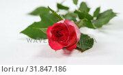 Купить «Fresh pink rose on white surface 4k», видеоролик № 31847186, снято 11 октября 2018 г. (c) Wavebreak Media / Фотобанк Лори