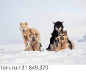 Sled dog during winter in Uummannaq in the north west of Greenland. Dog teams are still draft animals for the fishermen of the villages and stay all winter... Стоковое фото, фотограф Martin Zwick / age Fotostock / Фотобанк Лори