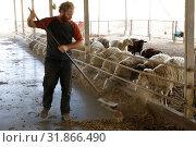 Купить «Israel, Neguev desert, farm raising sheeps and goats.», фото № 31866490, снято 23 ноября 2016 г. (c) age Fotostock / Фотобанк Лори