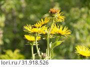 Лекарственное растение девясил высокий. Inula helenium. Стоковое фото, фотограф Дудакова / Фотобанк Лори