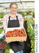Купить «Female gardener in apron pholding box with fresh strawberries», фото № 31920154, снято 9 апреля 2019 г. (c) Яков Филимонов / Фотобанк Лори