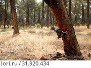 Купить «Image of extraction of resin in a pine forest at sunny day», фото № 31920434, снято 25 февраля 2020 г. (c) Яков Филимонов / Фотобанк Лори
