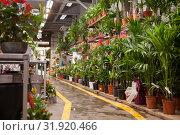 Купить «Pots of flowers are on shelf in a large flower shop», фото № 31920466, снято 20 мая 2019 г. (c) Яков Филимонов / Фотобанк Лори