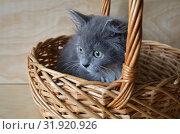Купить «Серый пушистый котенок в плетеной корзинке», фото № 31920926, снято 19 июля 2019 г. (c) Елена Коромыслова / Фотобанк Лори